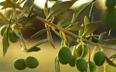 La UNdeC y el INTA realizan publicación de libro sobre cosecha de aceituna de mesa